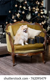 Dog Spitz on chair with presents. Concepts of Christmas. Year of the dog.