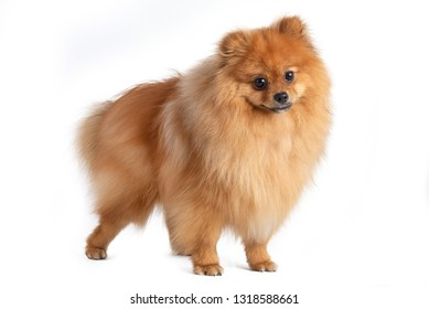 dog spitz standing on white background