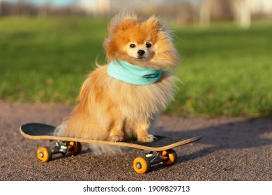 dog and sports. Cool  Pomeranian in scarf riding in skateboard, looks at the camera. creative pet. training, obedience of the animal.