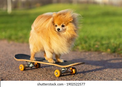 dog and sports. Cool Pomeranian spitz riding in skateboard. creative pet. training, obedience of the animal.