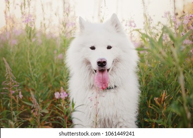 Dog in spring. Samoyed dog on a walk