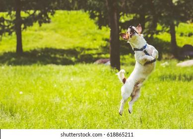 Dog springs into action jumping at park lawn at hot summer day