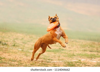 A dog Staffordshire Terrier runs after a frisbee in the field