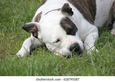 the dog is a Staffordshire Terrier for a walk