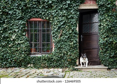 dog standing in front of house covered by ivy