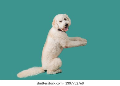 Dog Standing up Isolated