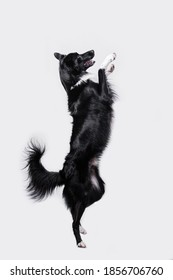 Dog standing on two paws isolated over white background. Playful full length border collie shepherd dog standing on two paws acrobatic jumping in the air isolated over white background.