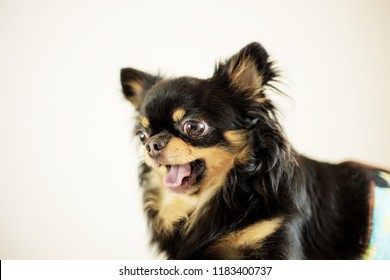 Dog are standing in pet shop with a white background.