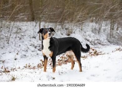 Dog is standing in the snow. Appenzeller Sennenhund
