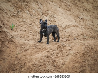 The dog stands among the sand. French bulldog in a collar on a walk