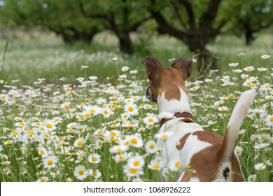 the dog stands with his back in the daisy field looking into the distance