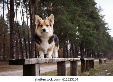 A dog stands on a bench on a background of pines.
