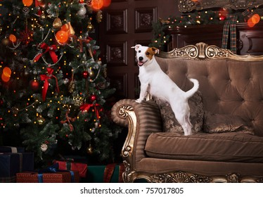 the dog stands on the couch to face the Christmas tree