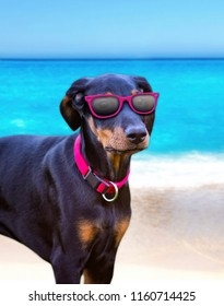 The dog stay on the beach in pink sunglasses. In the background is the clear sea and sand. This breed is doberman puppy.
