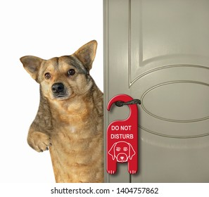 "The dog stayed at the hotel.  A sign "" do not disturb "" is hung on the door. White background. Isolated."