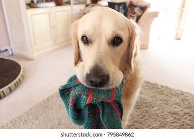 Dog stealing a dish cloth