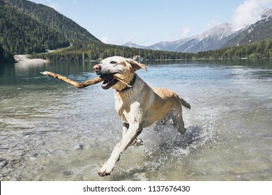 Dog with stick in mountains. Happy labrador retriever running in lake. Alps, Italy
