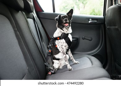 Dog With Sticking Out Tongue Sitting In A Car Seat