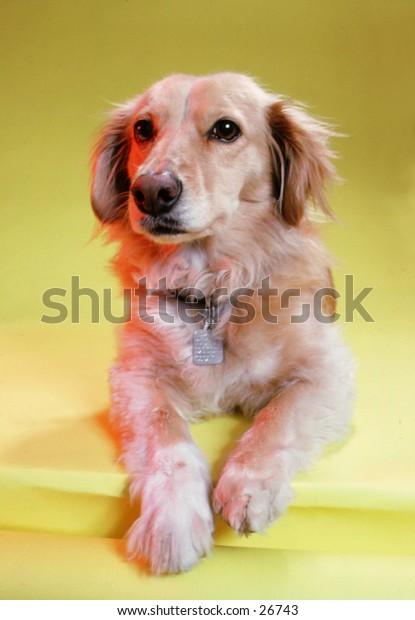 Dog stitting in studio looking at camera