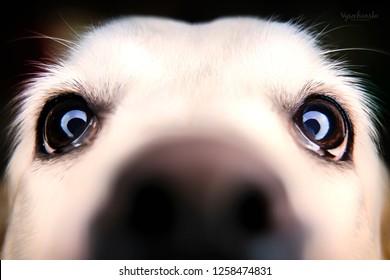 dog in studio, black labrador, black dog on black background, dog labrador sitting on black and white backgrounds,