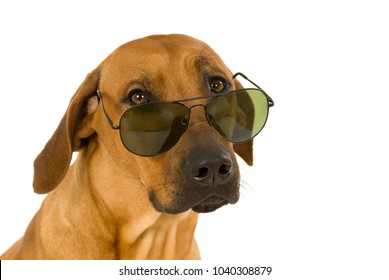 Dog with sun glasses isolated on white background