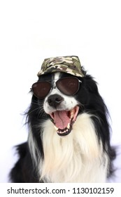 Dog in sunglasses and army masked cap. The breed is black and white border collie. The background is white.