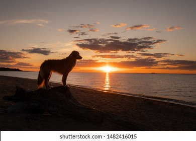dog at sunset by the sea. Nova Scotia Duck Tolling Retriever is on vacation. Pet Travel