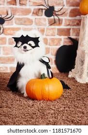 Dog in superhero costume holding a pumpkin