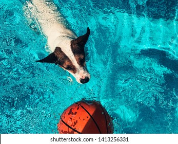 Dog swimming after basketball in outdoors swimming pool.