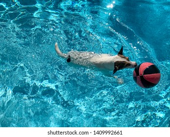 Dog swimming with basketball in backyard swimming pool on a sunny day.