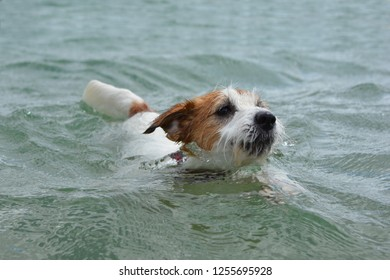 0cf76f5be1a DOG SWIMMING. CUTE JACK RUSSELL PUPPY PLAYING ON WATER ENJOYING SUMMER.