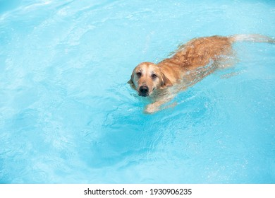 A dog swimming happily and joyfully. Golden Retriever. Happy puppy playing in the water.