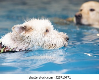 Dog is swimming in a pool.  The dog breed is a fox terrier.