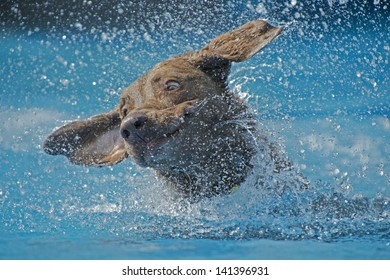 A dog swimming in pool shakes water from ears, creating a beautiful splash