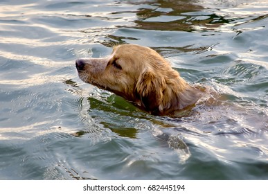 The dog swimming in the river