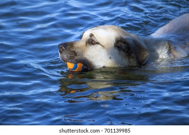 Dog swimming in the river carrying a ball