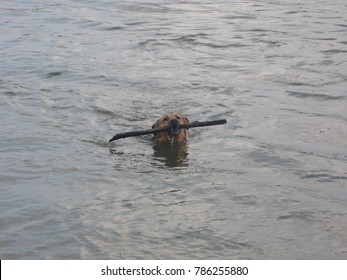 Dog swims with a stick.