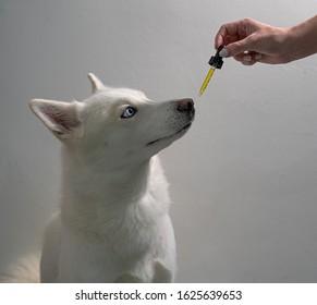 Dog taking CBD Hemp Oil Tincture
