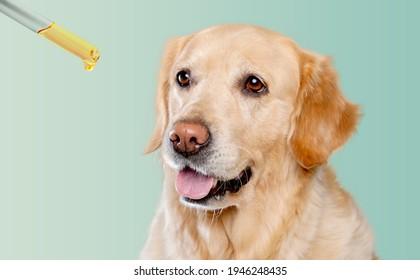 Hund nimmt ätherisches Öl aus Tröpfchen. Nahrungsergänzungsmittel für Heimtiere
