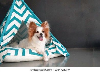 dog in teepee tent. Cute dog is lying in a small teepee tent for dog. Pure breed dog : Continental Toy Spaniel Papillon. Copy space on the right area.