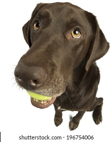 Dog with tennis ball isolated on white background.