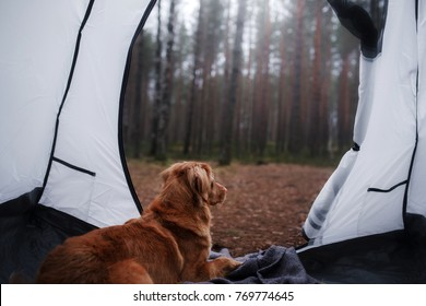 dog in a tent in the forest. travel with the pet. Nova Scotia Duck Tolling Retriever. adventure dog