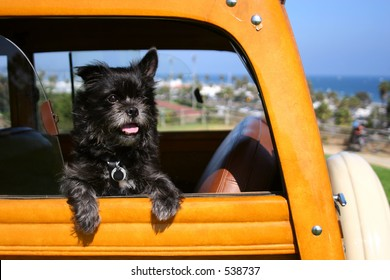 A dog that looks like Toto waits for his master to come back to his woodie automobile in Santa Barbara, California.