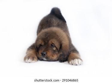 dog Tibetan Mastiff