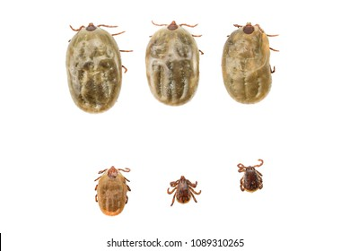 Dog ticks (scientific name: Boophilus microplus or Rhipicephalus microplus) are external parasites of many animals such as horses, goats, sheep, pigs, dogs and some wild animals. On a white background