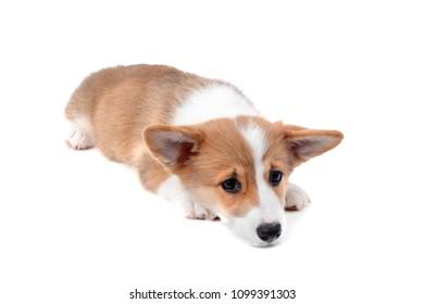 dog tired corgi puppy laying down isolated white background