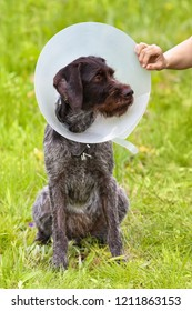 dog with a torn ear sitting on the grass in the Elizabethan collar