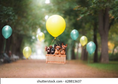 Dog Toy Terrier is flying on a balloon in the park