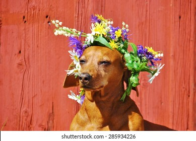 Dog with a traditional floral wreath to the Midsummer Festival in Sweden