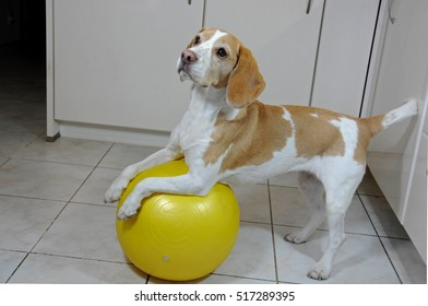 Dog training with a yellow gym ball